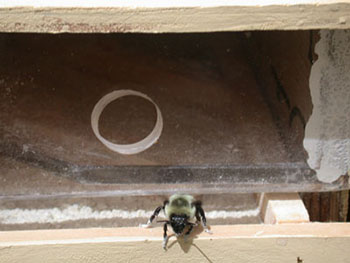 A honeybee is shown at the exit of a beehive.