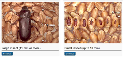 Two images of grain kernels are shown. In the left image, a brown beetle sits on the grain with a vertical white arrow to the right indicating it is 15 millimetres long. In the right image, seven beetles sit on individual grain kernels with a vertical white arrow to their right indicating each is less than 5 millimetres long. Under each image, a blue continue box allows the user to select which image best matches the insect being identified.