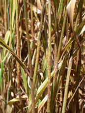 Wheat stem rust, on alien invasive fungal