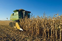Combine harvesting grain corn for biofuel