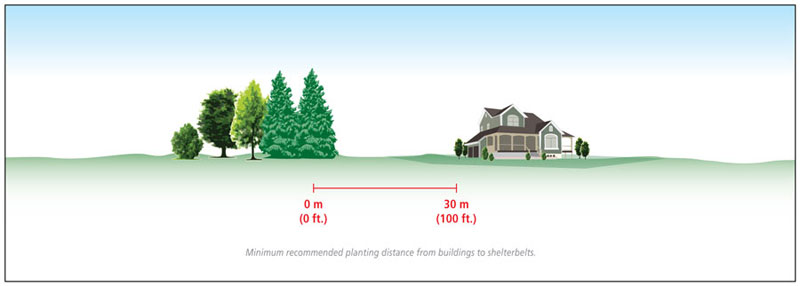 Minimum recommended planting distance from buildings to shelterbelts is 30 meters (100 feet).