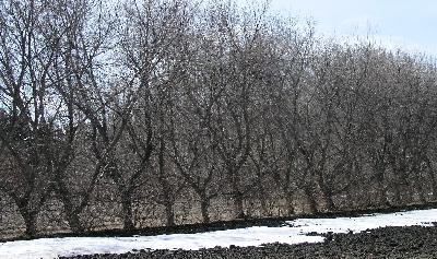 Manitoba Maple – Field Belt in Winter