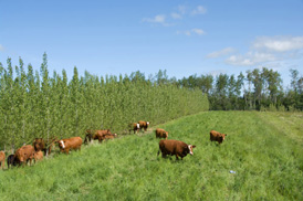 Cattle grazing in field next to a shelterbelt