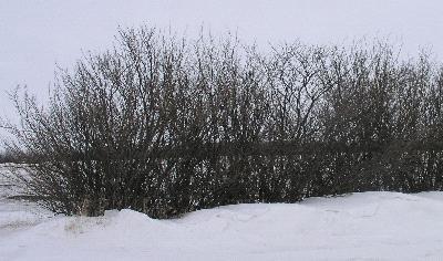 Caragana - In Snow