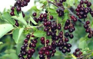 Choke Cherry - Fruits