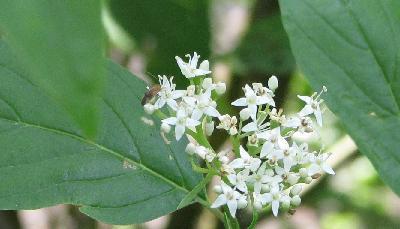 Cornouiller stolonifère - fleurs