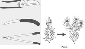 Drawings: Pruning tools - How to prune evergreens