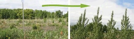 A two panel illustration showing stunted tree growth where there is no weed control, and tall healthy young trees where there is good weed control.