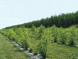 Controlling Weeds In Your Agroforestry Planting Agriculture And