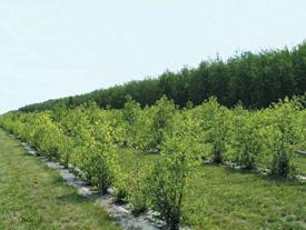 Deux rangées de jeunes arbres entourées de gazon tondu et sans grandes mauvaises herbes.