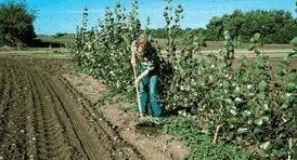 Un agriculteur utilise une binette pour arracher les mauvaises herbes entre les semis d'arbres.