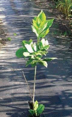 Un jeune plant d'arbre sain entouré de paillis plastique.