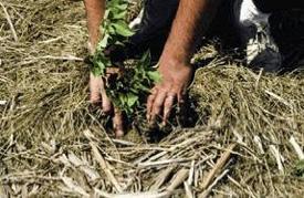 Les mains d'un agriculteur éloignant le paillis de paille d'un jeune plant.