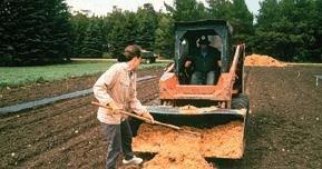Un agriculteur se sert d'un râteau pour étaler de la sciure de bois, fournie par un petit tracteur, sur une rangée de nouveaux plants.