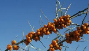 Sea Buckthorn - Fruit