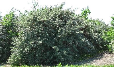 Argousier faux-nerprun - arbuste