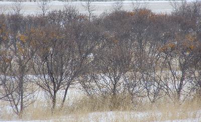 Argousier faux-nerprun - en rang en hiver