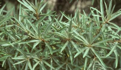 Sea Buckthorn - Leaves
