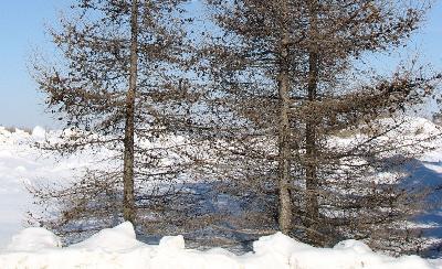 Mélèze de Sibérie - Agriculture et Agroalimentaire Canada (AAC)