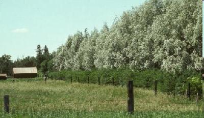 Un brise-vent mature constitué d'une rangée d'arbustes et d'une rangée d'arbres le long d'une clôture de ferme