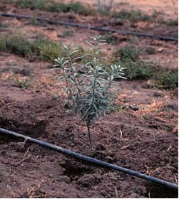 Small tree sapling with drip irrigation line next to stem