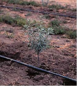 Jeune arbre et tuyau d'irrigation au goutte à goutte