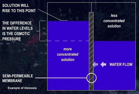 Description of this example of osmosis precedes.