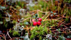 Small lingonberry bush