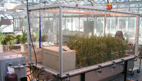 Pots of barley plants growing in a glass chamber inside a greenhouse.