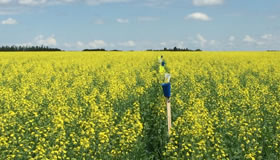 A yellow canola field divided by a row of blue and yellow cups mounted on sticks, with blue sky in background.