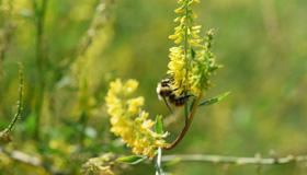 Gros plan d'un bourdon sur une grappe de petites fleurs jaunes.