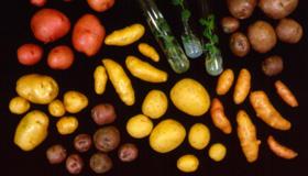 Affichage de différents types des pommes de terre et des tubes à essai avec des plantes à l'intérieur.