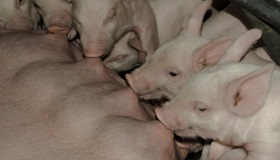 Close-up of the belly of a sow nursing her piglets.