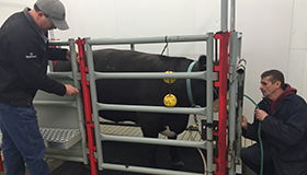 Two researchers measure methane emissions from a Steer in a laboratory