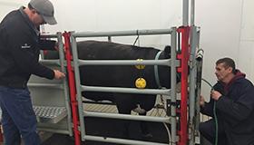 Deux chercheurs mesurent les émissions de méthane d'un bouvillon dans un laboratoire