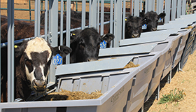 A row of cattle eat in segregated feed troughs