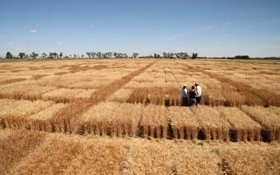 Vast fields of winter wheat breeding lines.
