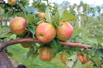 A cluster of mature apples on a tree branch.