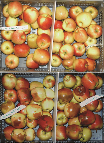 Two groups of apples. One group shows healthy apples. The other group shows apples with brown lesions.