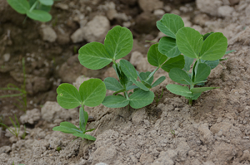 Field pea grows in trial plot