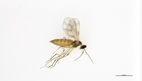 Voici une femelle de Contarinia brassicola, une nouvelle espèce récemment identifiée.
