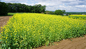 Farm plot of tall, green mustard plants with yellow blooms.