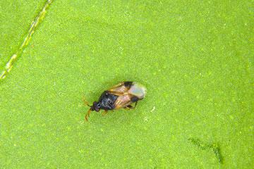 Close up of Orius insidious bug.