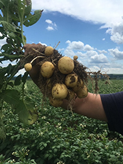 Hand holds up a potato plant in a field which showing several potatoes.