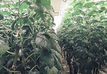 De nombreux plants de concombres hauts et feuillus poussent à la verticale dans la serre utilisée par l'équipe Sonoma.