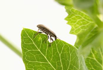 Photo du dommage causé à la feuille d'une plante par un insecte.