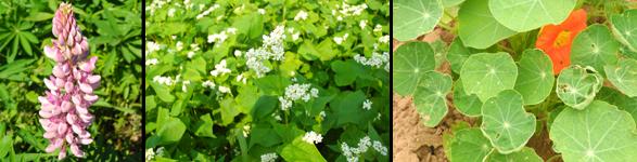 Lupins, buckwheat and a nasturtium