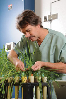 Tom Fetch examines wheat plants