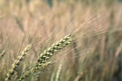 Ripening wheat plants