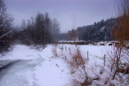 Cattle overwintering in a fenced pasture by the Salmon River